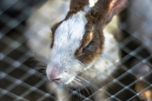 closeup of cute and innocent bunny inside a dark cage with sad expression on it's face closeup of cute and innocent bunny inside a dark cage with sad expression on it's face animal testing stock pictures, royalty-free photos & images