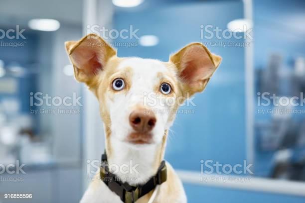 Closeup of cute dog at veterinary clinic picture id916855596?b=1&k=6&m=916855596&s=612x612&h= 3xccpudacbpsykqlkhyhb6d ccl3 5vhcbwdekeb5w=