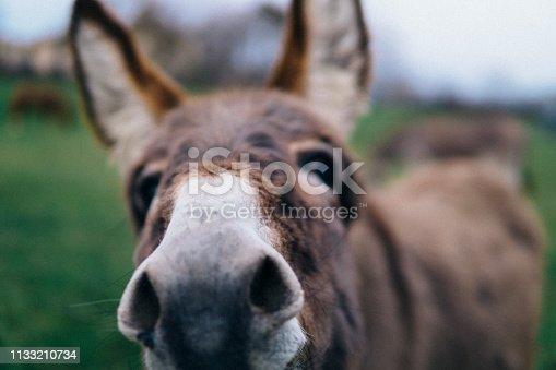 Portrait of a funny donkey