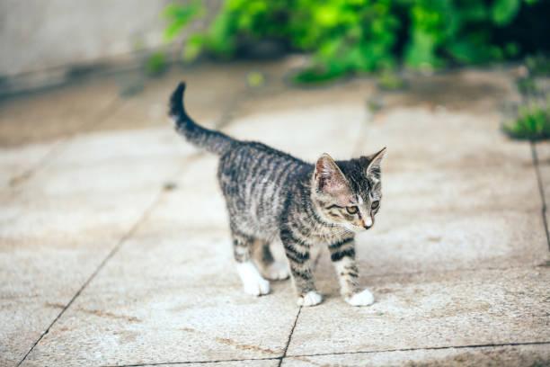 Closeup of cute kitten wandering on outdoor pavement picture id1166564586?b=1&k=6&m=1166564586&s=612x612&w=0&h=qqdock37rauyawgkrg44vog0g45qrzfbqjfbix66 fa=