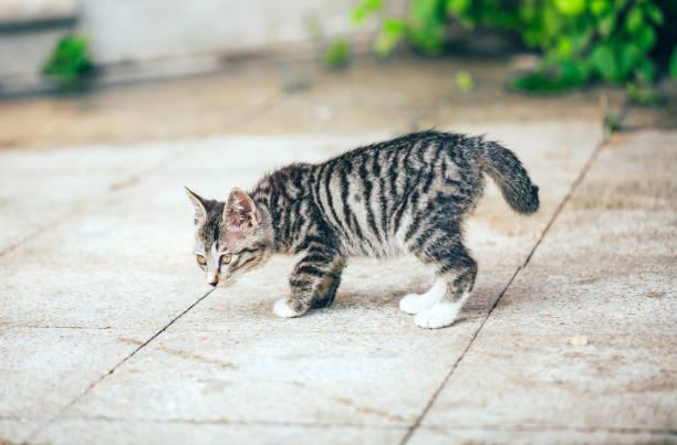 Closeup of cute kitten wandering on outdoor pavement picture id1166564759?b=1&k=6&m=1166564759&s=612x612&w=0&h=dnl 6n8oh7e7ypvqkvpafdmg1l6u2lqsbroei mwsm4=
