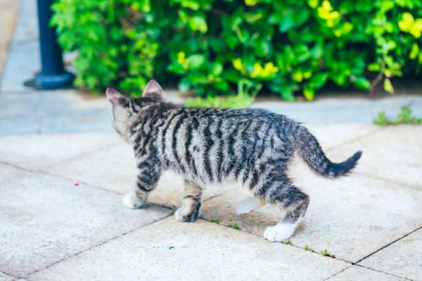 Closeup of cute kitten wandering on outdoor pavement picture id1166564924?b=1&k=6&m=1166564924&s=612x612&w=0&h=p7cdi hlw9mtbg 7ofcwnpdufs2eeckq4a6qbuc7arg=