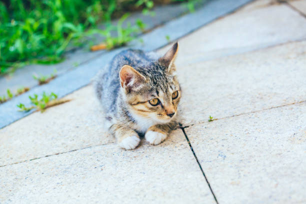 Closeup of cute kitten wandering on outdoor pavement picture id1166565878?b=1&k=6&m=1166565878&s=612x612&w=0&h=lw ddnnck3qim9pm9kilm2x0lrwoedvkofcdnlq0gbw=