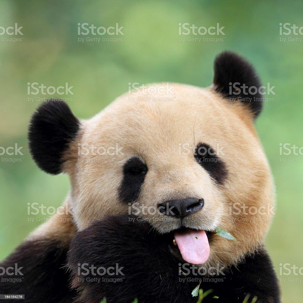 Close-up of cute panda pulling a face royalty-free stock photo