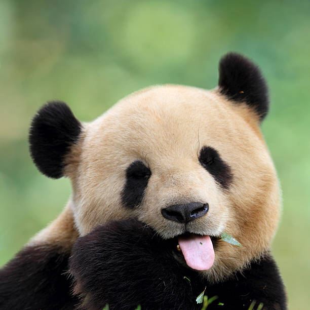 panda mignon - panda photos et images de collection