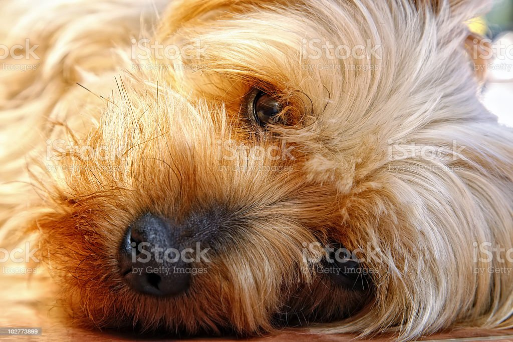 Closeup of Cute Silky Terrier Face royalty-free stock photo