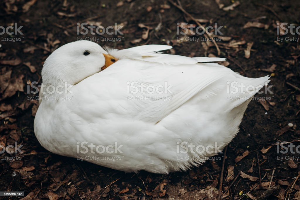 Close-up of cute white duck resting on the ground, farm animal - white duck sitting in the dirt in the countryside, ugly duckling concept zbiór zdjęć royalty-free