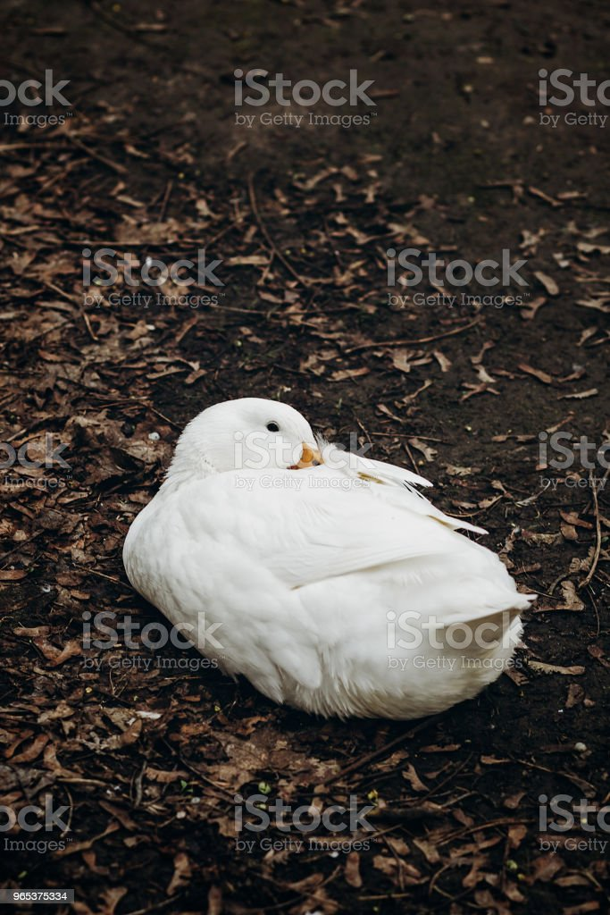 Close-up of cute white duck resting on the ground, farm animal - white duck sitting in the dirt in the countryside, ugly duckling concept royalty-free stock photo