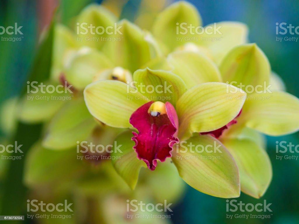 Closeup of Cymbidium Orchid Flower stock photo