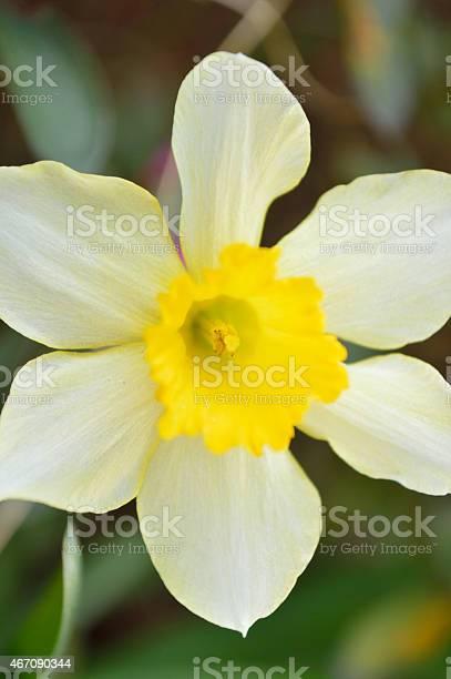 Closeup of Daffodil, vertical