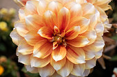 Closeup of Dahlia Flower in Horizontal Orientation. It is Perfect for Wallpaper and Background.