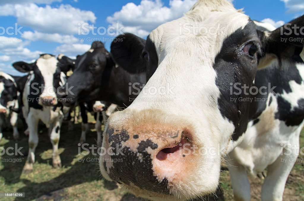 Closeup of dairy cow's face in pasture stock photo