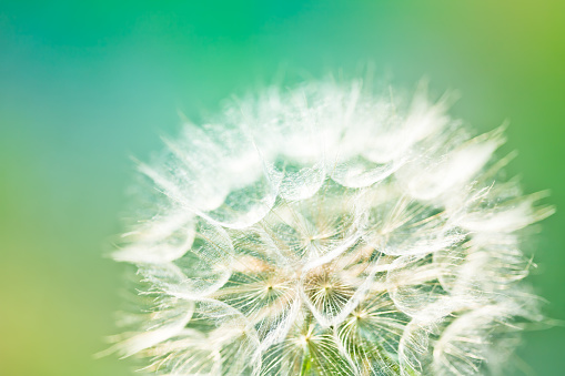 Photo of dandelion seed. Close-up.