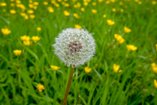 A closeup of a single dandelion in countryside field of yellow buttercups.