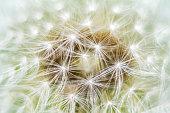 Dandelion in morning dew