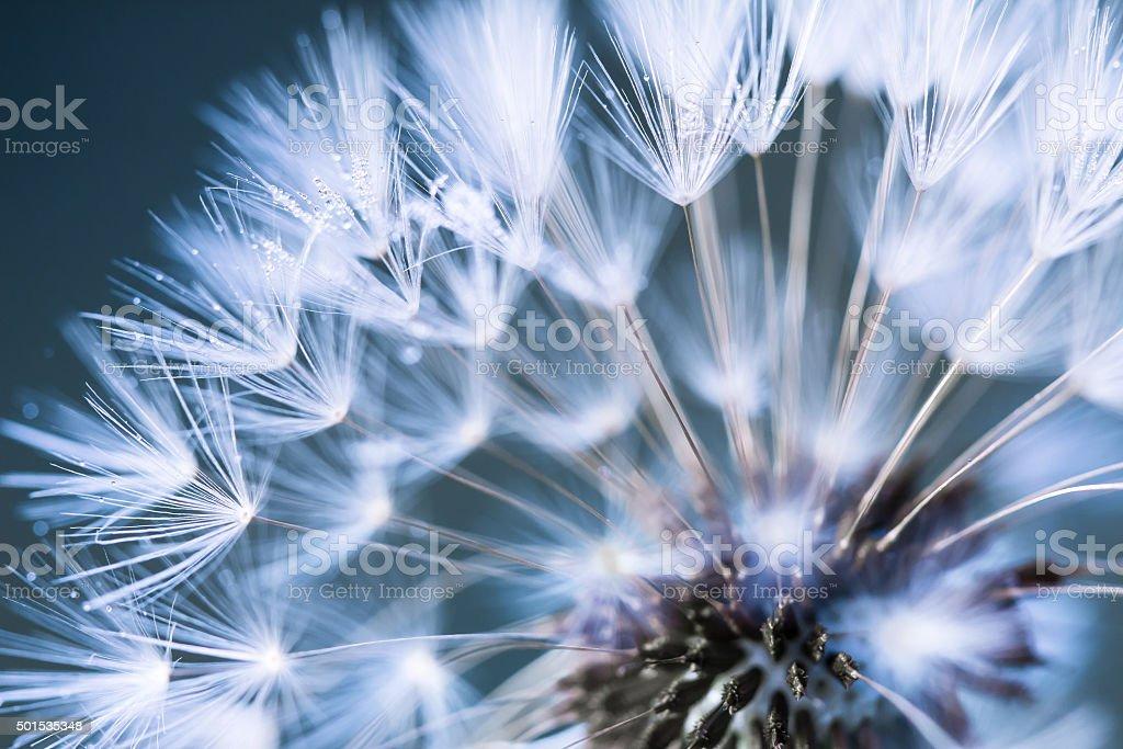 Closeup of dandelion royalty-free stock photo