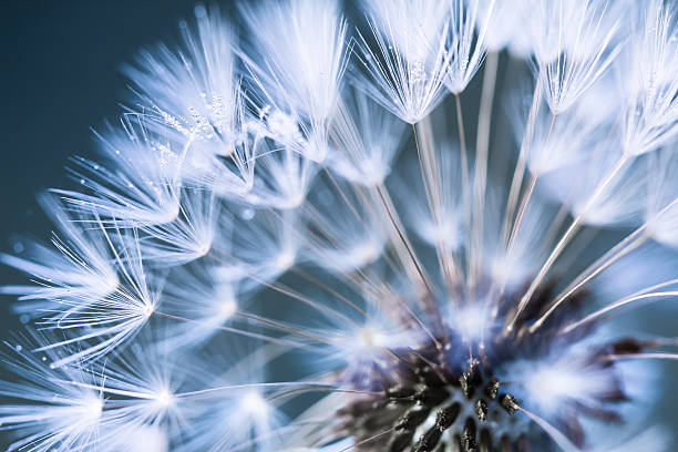 Closeup of dandelion stock photo