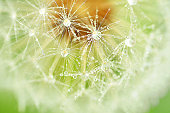 Dandelion, Flower, Plant, Drop, Seed