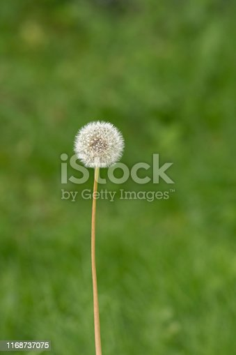 This dandelion flower head has matured into a spherical seed head (or blowball or clock), containing many single-seeded fruits called achenes. Each achene is attached to a pappus of fine hairs, which enable wind-aided dispersal over long distances. The image was captured with a fast prime 300mm telephoto lens and a full frame DSLR camera at low ISO resulting in a large clean file. Shallow depth of field. The background (green grass of the lawn) is blurred.