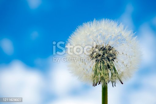 Close-up of dandelion seed head on blue sky background. Copy space for text, selective focus