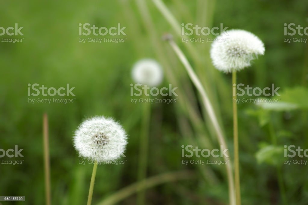 Closeup of dandelion seed head with two others and green grass blurred in background photo libre de droits