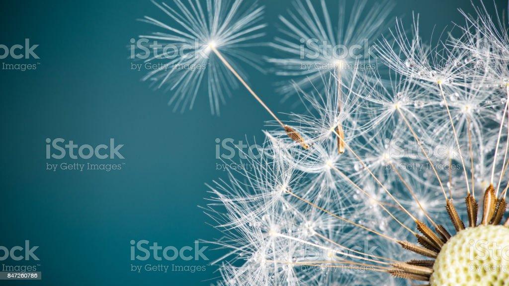 Gros plan des graines de pissenlit sur fond naturel bleu - Photo