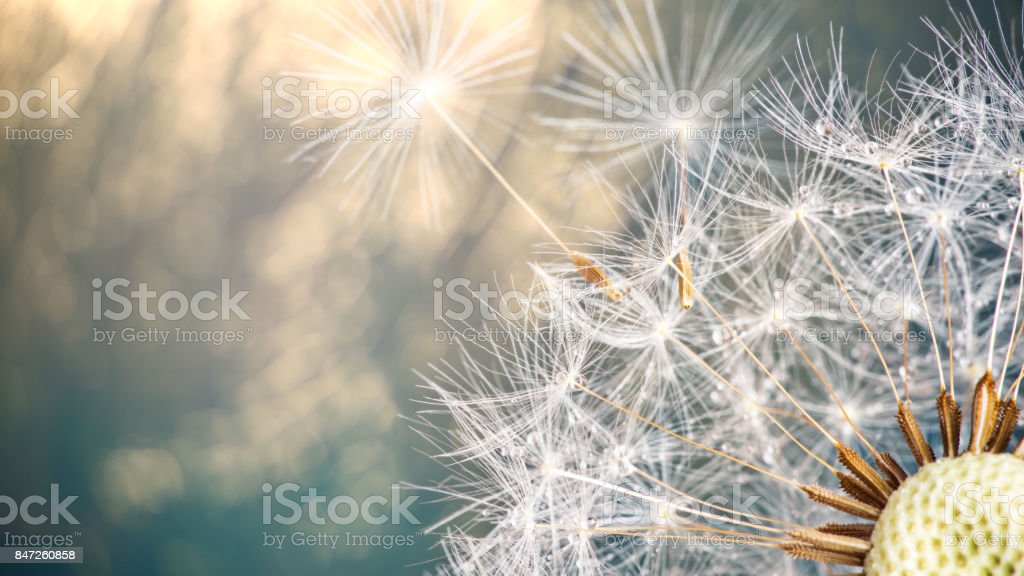 Close-up of dandelion seeds on blue natural background stock photo