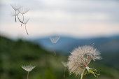 Close-up of dandelion seeds on green natural background. Macro shot.