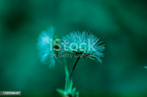 istock Close-up of dandelions or vittadinia flowers, against a beautiful green background 1293596497