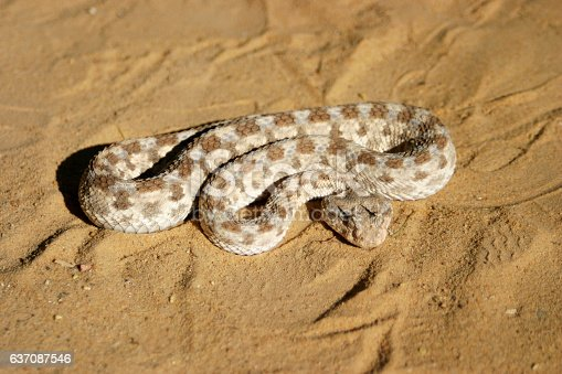 African saharan horned viper in the sand