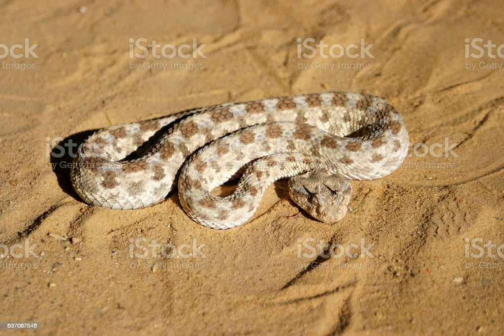 Close-up of dangerous horned viper in the sahara stock photo