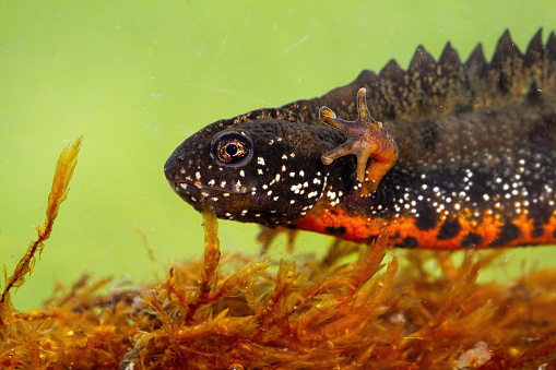Close-up of danube crested newt, triturus dobrogicus, diving in water in swamp. Head and leg with fingers of spotted amphibian with orange belly swimming underwater.