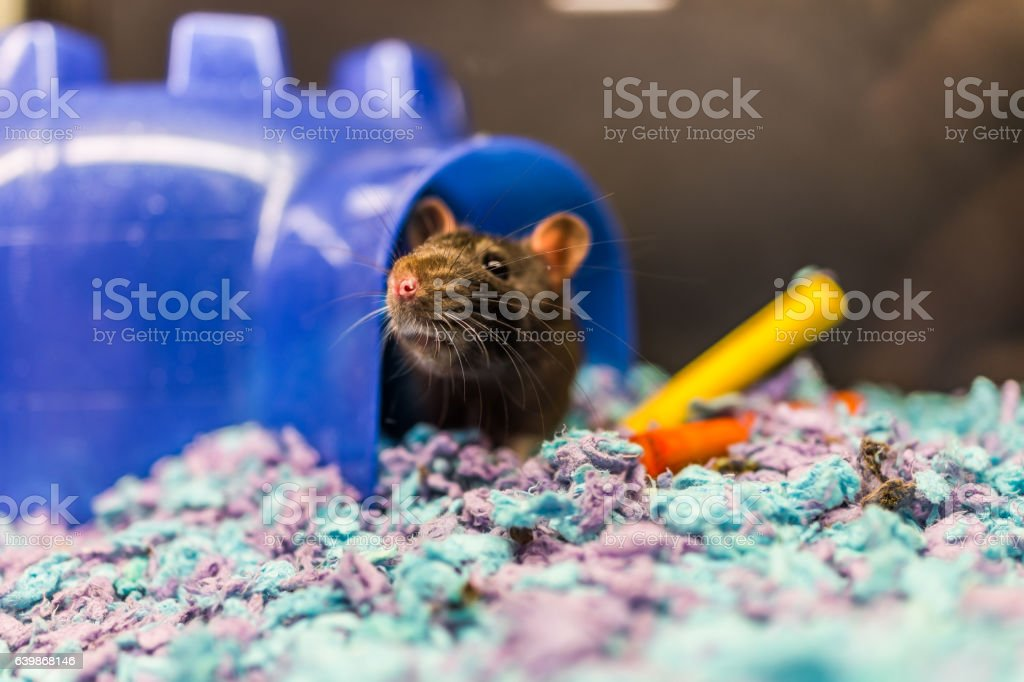 Closeup of dark brown rat coming out of house stock photo