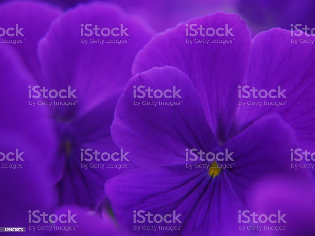 A close-up of deep purple flowers of garden violet. stock photo