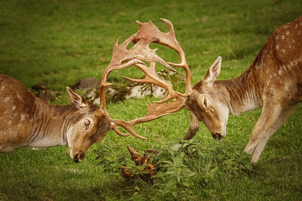 Closeup of Deer Fight Deer Fight on the Pasture in Germany rutting stock pictures, royalty-free photos & images
