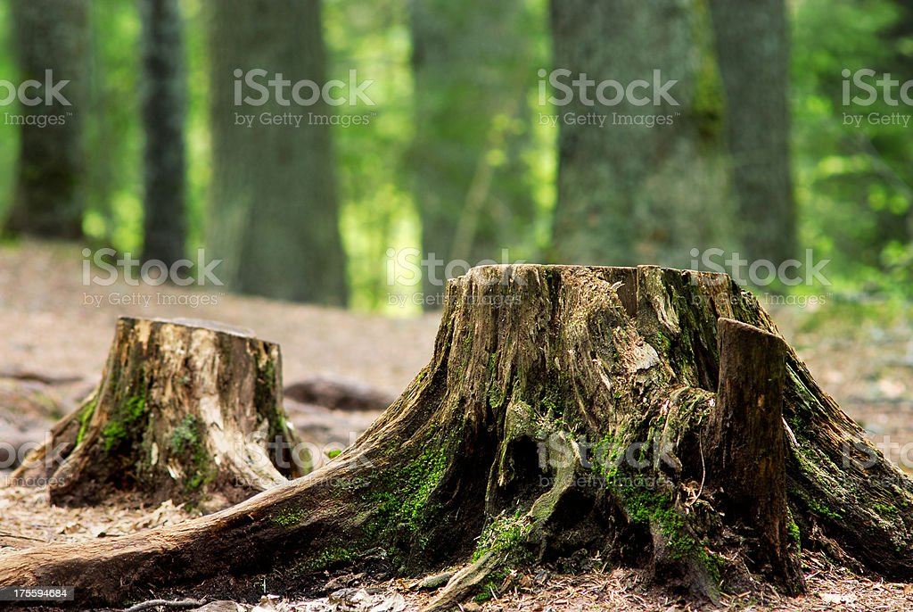 Close-up of deforested stumps in front of forest background stock photo