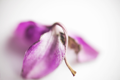 Close-Up Of Delicate Dry Purple Orchid Flower