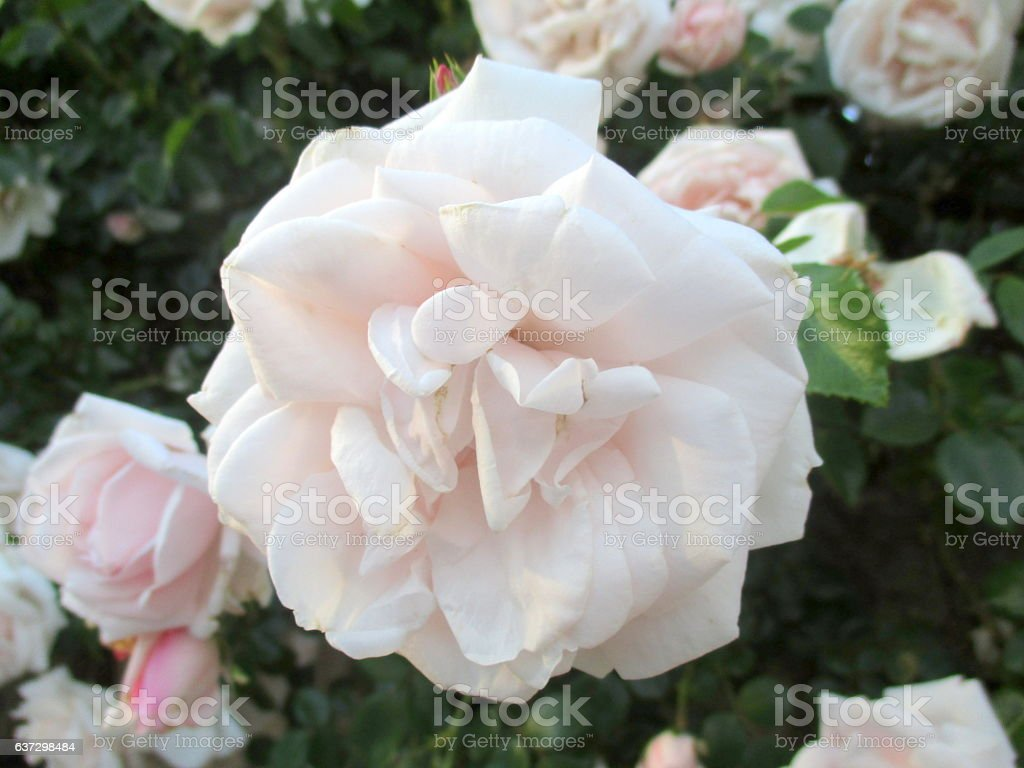 Close-up of Delicate Pale Pink Rose stock photo