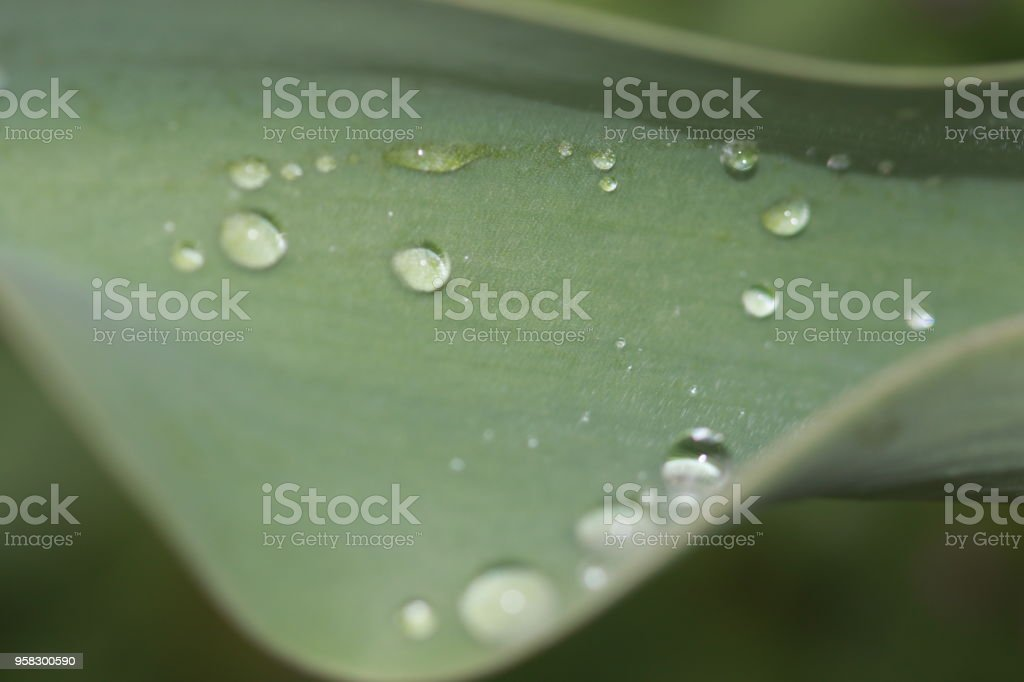 closeup of dew drops on leafs stock photo