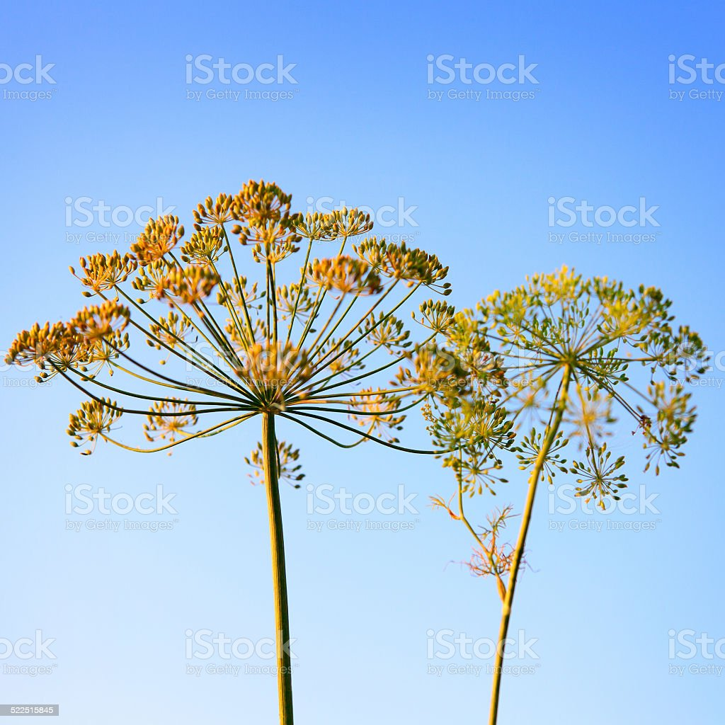 Closeup of Dill flower umbels in autumn on blue sky stock photo
