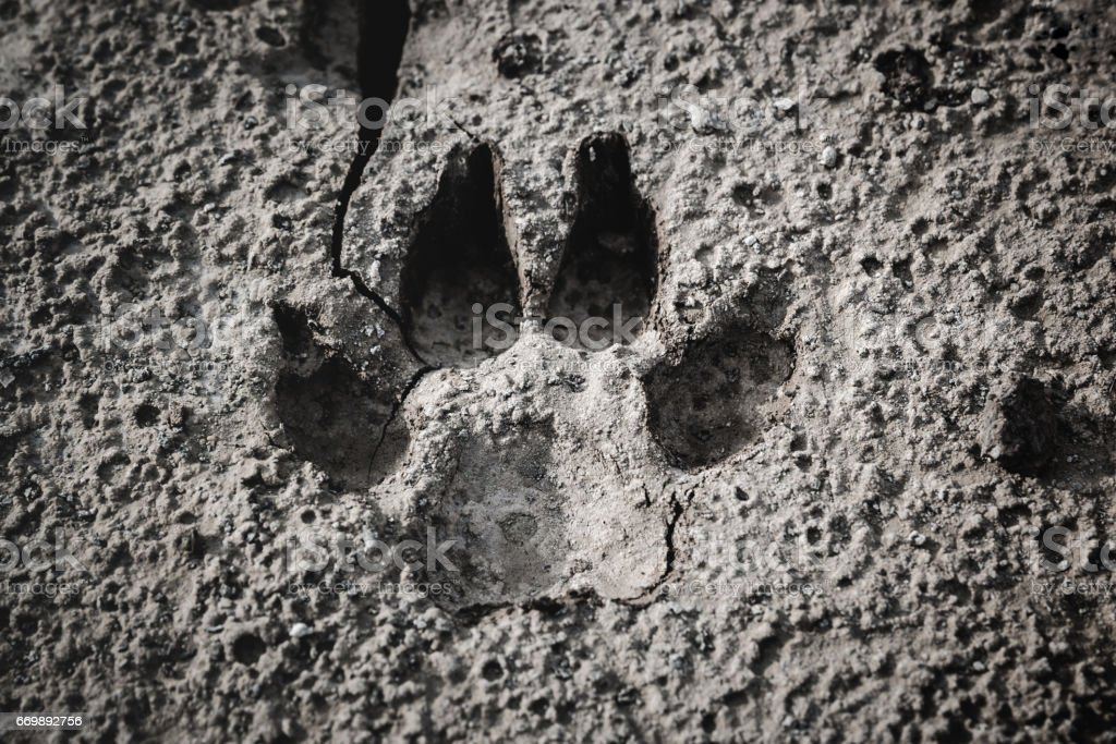 Closeup of dog footprint at the cracked ground. stock photo