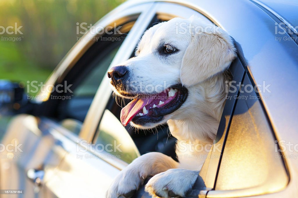 Cane in auto foto stock royalty-free