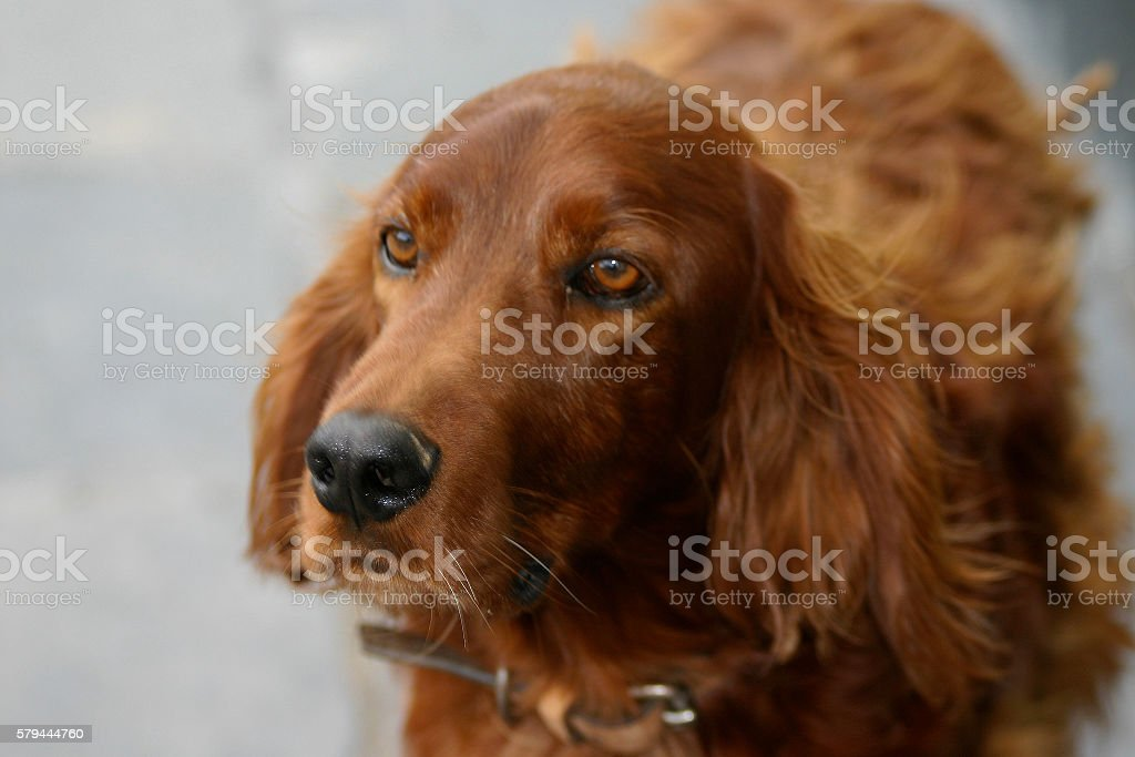 Close-up of Dog, Irish Setter stock photo