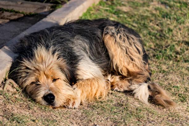 close-up köpek çim üzerinde yalan - serpilguler stok fotoğraflar ve resimler