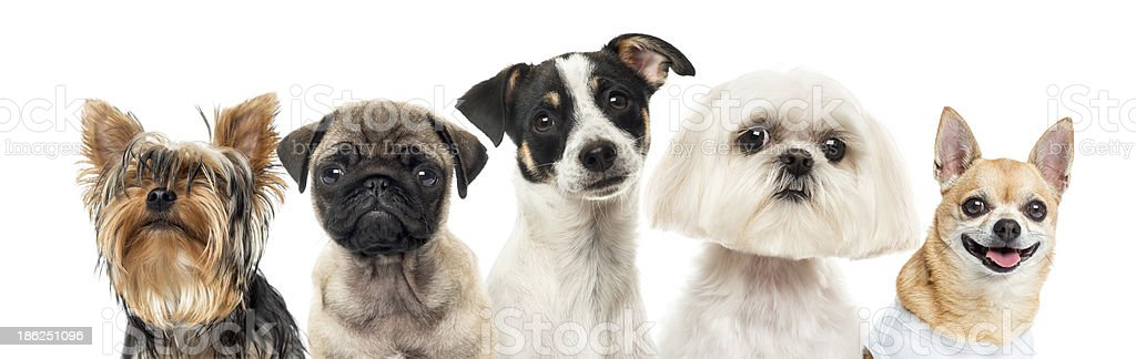 Primer plano de perros en una fila, Aislado en blanco - foto de stock