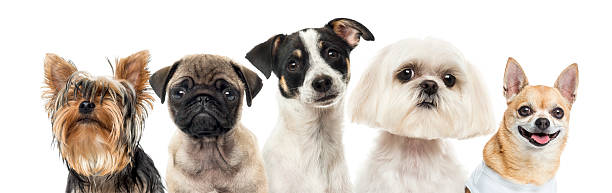 Close-up of dogs in a row, isolated on white stock photo