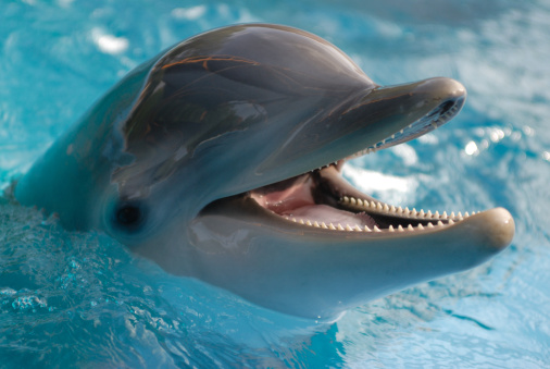 Portrait of a dolphin with open mouth