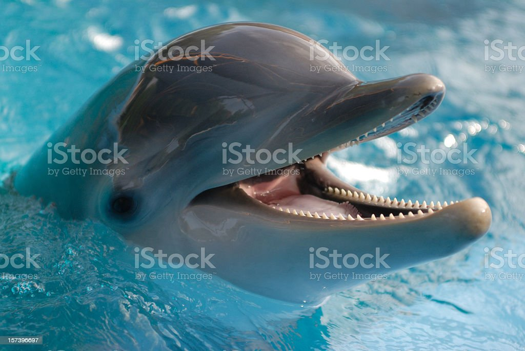 Close-up of dolphin in water with its mouth open stock photo