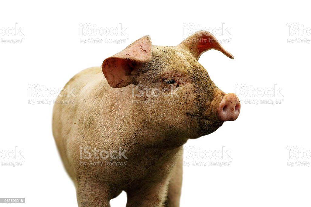 closeup of domestic pig over white stock photo