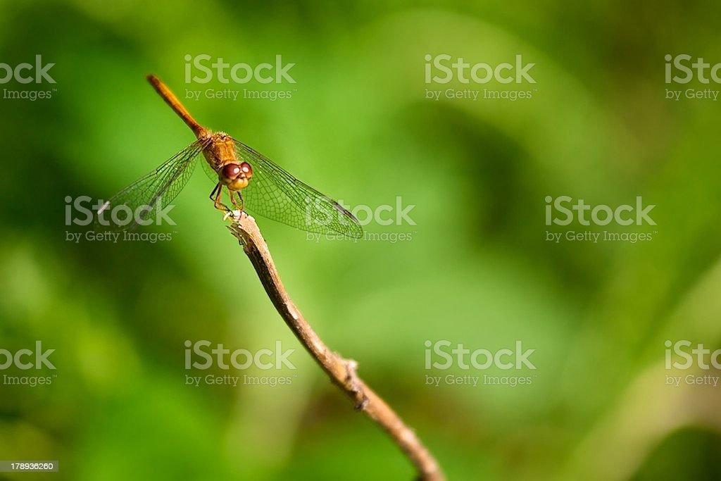 Closeup of dragonfly royalty-free stock photo